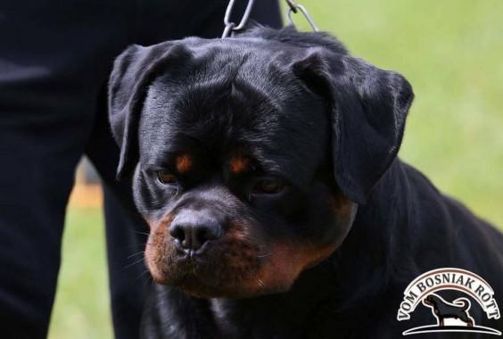 ROTTWEILER CUCCIOLI ALLEVAMENTO TORINO PIEMONTE-Rottweiler AUS DER KRUMMHOLZ Mercenasco Torino 1