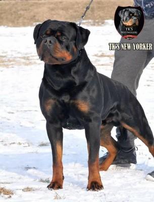 ROTTWEILER CUCCIOLI ALLEVAMENTO TORINO PIEMONTE-Rottweiler AUS DER KRUMMHOLZ Mercenasco Torino 4