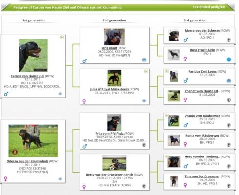 ROTTWEILER CUCCIOLI ALLEVAMENTO TORINO PIEMONTE-Rottweiler AUS DER KRUMMHOLZ Mercenasco Torino --