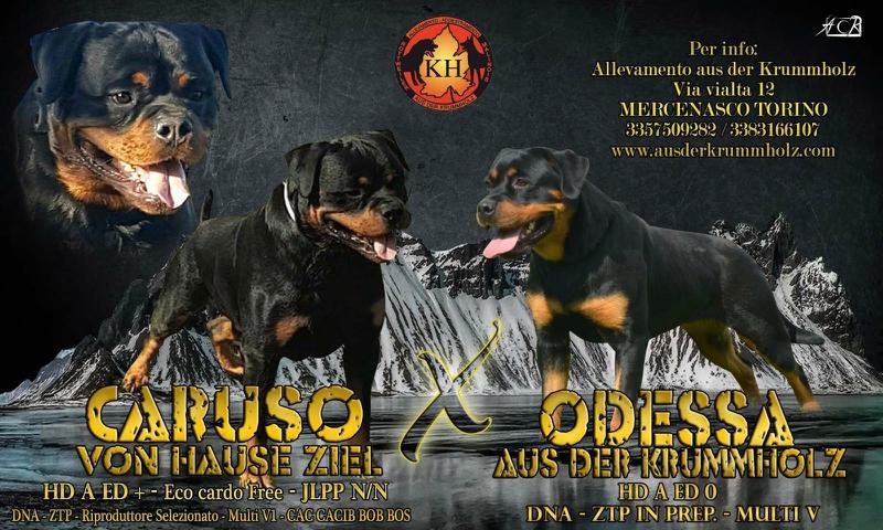 ROTTWEILER VENDITA CUCCIOLI TAGLIA GRANDE PURA RAZZA-Rottweiler Allevamento Torino Piemonte