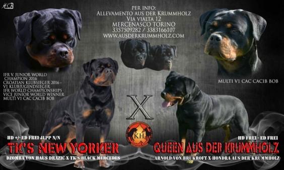 ROTTWEILER ALLEVAMENTO TORINO PIEMONTE|Rottweiler AUS DER KRUMMHOLZ Torino|ROTTWEILER CUCCIOLI DISPONIBILI