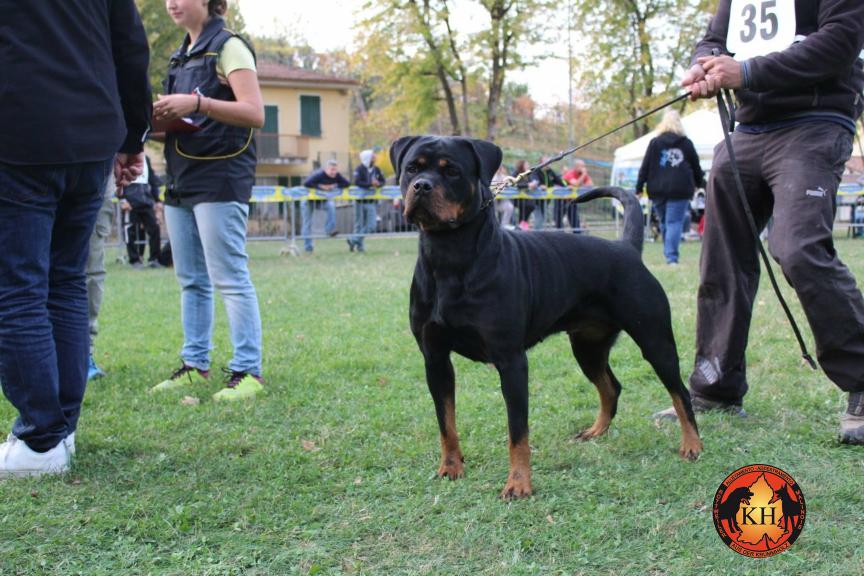 Migliore Allevamento Rottweiler Piemonte-Rottweiler Mercenasco Torino AUS DER KRUMMHOLZ