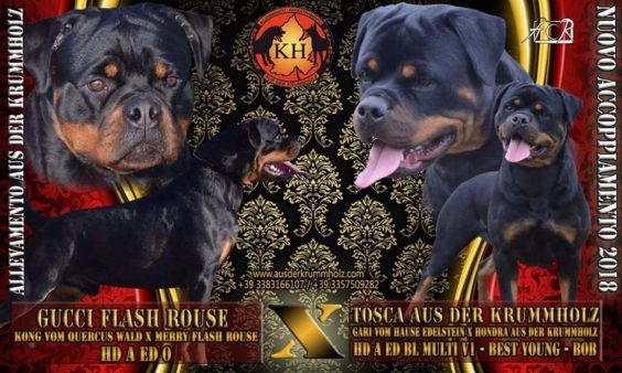 "ROTTWEILER CUCCIOLI AUS DER KRUMMHOLZ|Rottweiler Allevamento Nuova Cucciolata lettera ""I"" Cuccioli Disponibili"