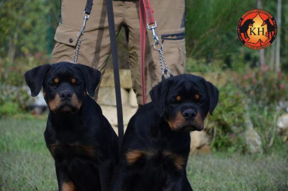 Rottweiler aus der Krummholz Cuccioli 3 mesi Allevamento Professionale Piemonte 1