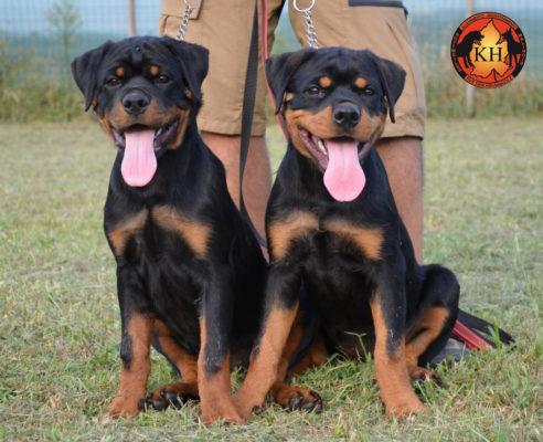 Rottweiler aus der Krummholz Cuccioli 3 mesi Allevamento Professionale Piemonte 10