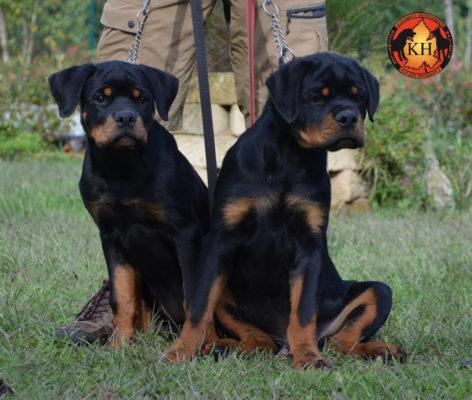Rottweiler aus der Krummholz Cuccioli 3 mesi Allevamento Professionale Piemonte