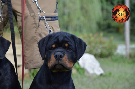 Rottweiler aus der Krummholz Cuccioli 3 mesi Allevamento Professionale Piemonte 5
