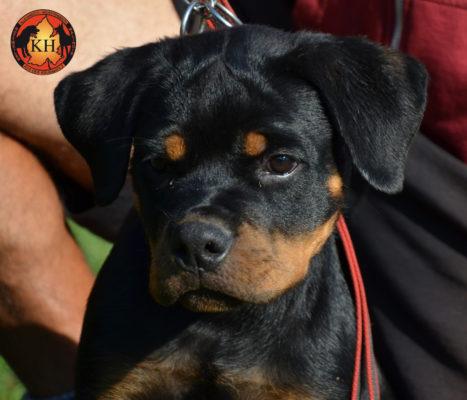 ROTTWEILER VENDITA TORINO PIEMONTE|Rottweiler Cucciolo Femmina 3 mesi in Vendita
