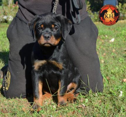 Cucciola Rottweiler in Vendita Allevamento Piemonte 2