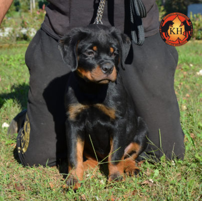 Cucciola Rottweiler in Vendita Allevamento Piemonte 3