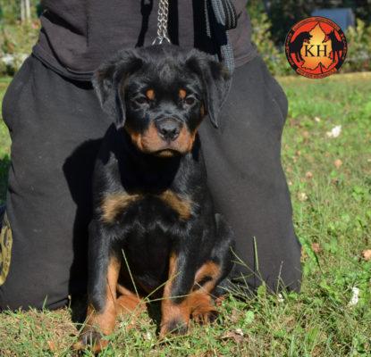 Cucciola Rottweiler in Vendita Allevamento Piemonte 4