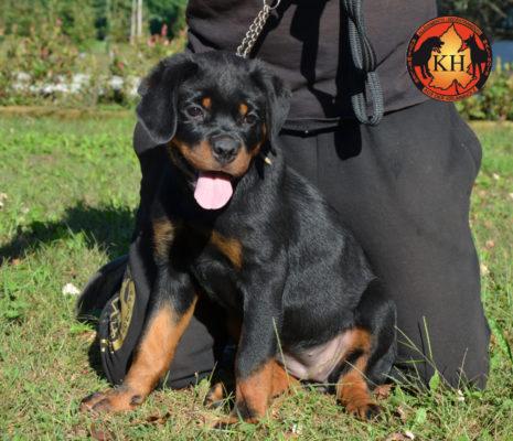 Cucciola Rottweiler in Vendita Allevamento Piemonte