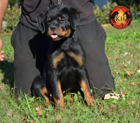 Cucciola Rottweiler in Vendita Allevamento Piemonte 5