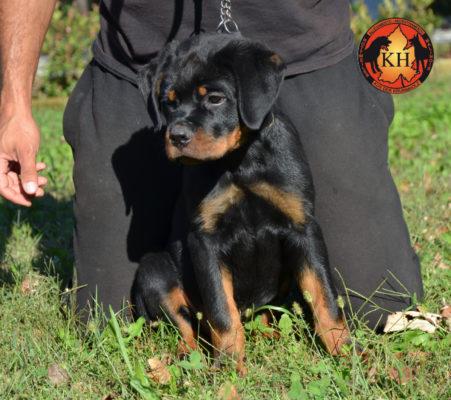 Cucciola Rottweiler in Vendita Allevamento Piemonte 6 (1)