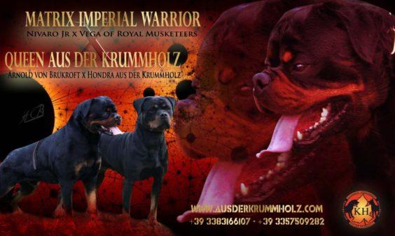 ROTTWEILER CUCCIOLI VENDITA PIEMONTE|Disponibili Cuccioli Rottweiler